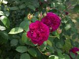 バラの花 ウィリアム シェークスピア