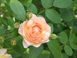 バラの花 グレイス