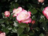 バラの花 ノスタルジー