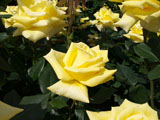 バラの花 ヘルムット シュミット