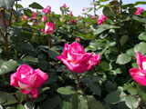 バラの花 アカペラ