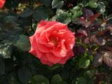 バラの花 カンデラブラ