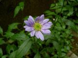 ミヤマヨメナ(淡紫)