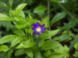 ミヤコワスレ(濃い紫)