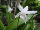 シラン 白花