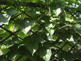 アサガオ 葉