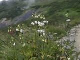 ハクサンシャジン(白花)