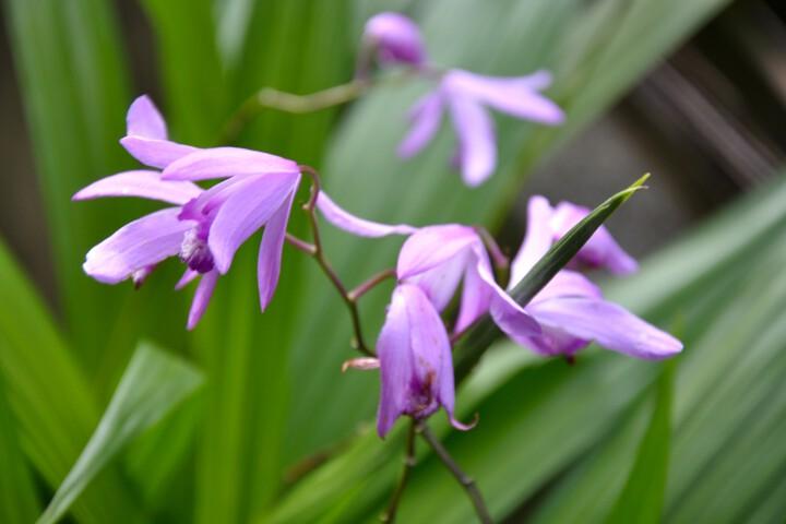 シラン (植物)の画像 p1_12