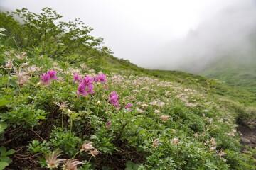 エゾツツジとチングルマの種子